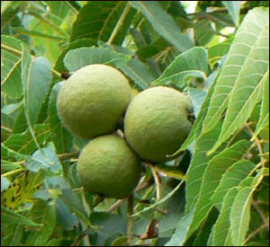 Picture of black walnuts on tree.