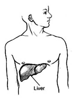 Drawing of where the liver is placed in the body.