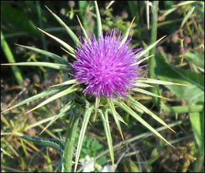 Milk thistle is a great liver cleansing supplement.