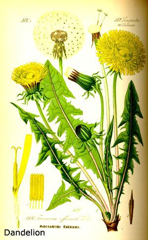 Dandelion root is a wellknown liver supplement herb.