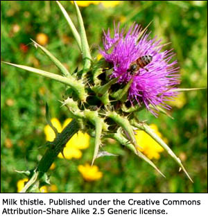 Liver cleansing herbs like the milk thistle is the most common ingredient in liver supplements.