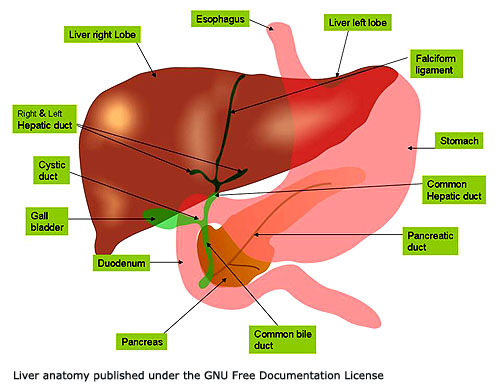Where is your liver what is the function of the liver close up picture of the liver and gall bladder ccuart Image collections