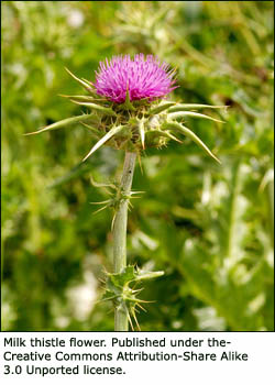 Milk thistle tea is a well-known treatment for liver problems. Pink milk thistle flower.