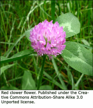 Red clower blossoms can also be included in herbal teas for your liver cleanse.