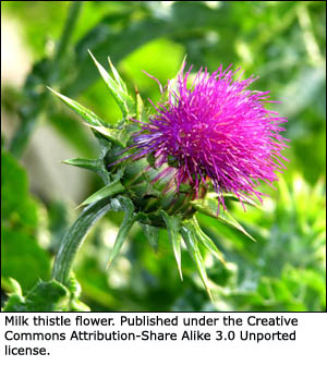 Pretty picture of a milk thistle.