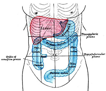 Picture of liver anantomy.