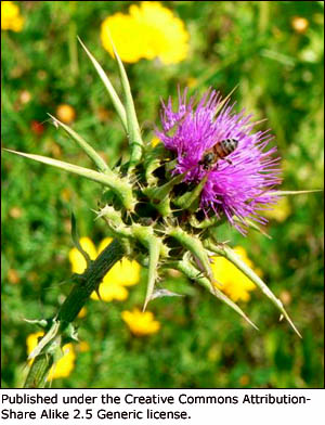 Beautiful picture of a milk thistle: Milk thistle is a good supplement to include i a liver cleansing diet.