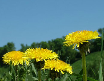 Dandelion extract is a well-known natural remedy to include in liver flushes and tonics. remedy