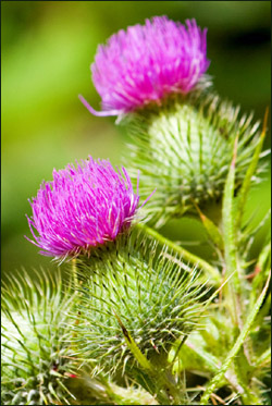Milk thistle is a herb and natural way to promot self repair in the liver.